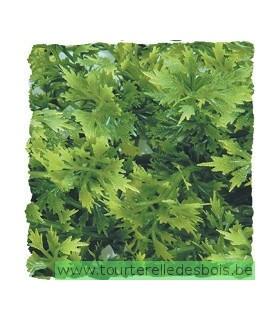 ZM Plante Small Australian Maple [BU-14]