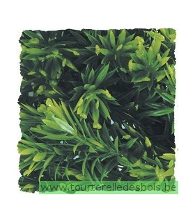 ZM Plante Large Borneo Star [BU-37]