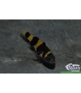Brachygobius doriae / Poisson abeille