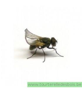 Mouche à aile frisée