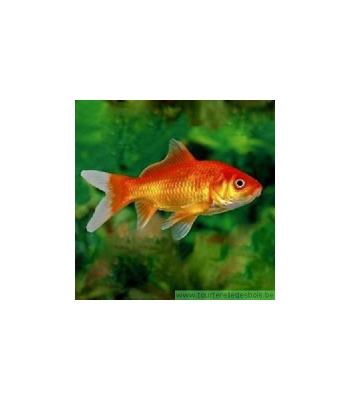 Carassius auratus poisson rouge 12 15 cm la for Prix poisson rouge 15 cm