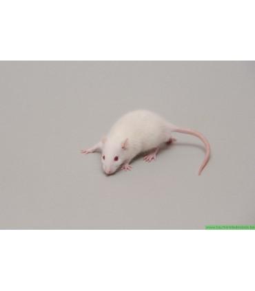 CONGELE - RAT [2] 12 A 29GRS Q+ (PIÈCE)