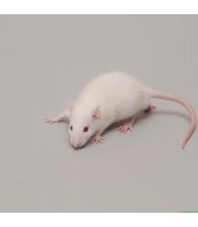 CONGELE - RAT [3] PETIT JUV. 35 À 59 GRS Q+ (PIÈCE)