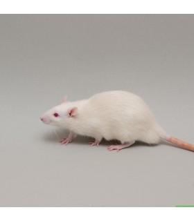 CONGELE - RAT [8] XL PLUS DE 300GRS Q+ (SACHET DE 5 PIÈCES)
