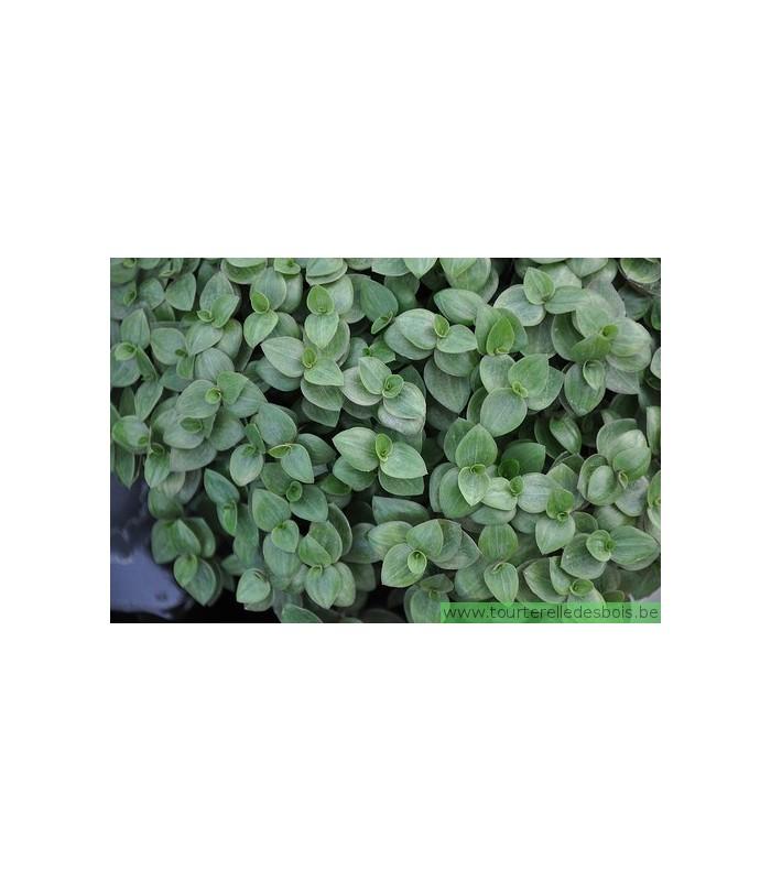 CALLISIA REPENS (PLANTE COMESTIBLE)