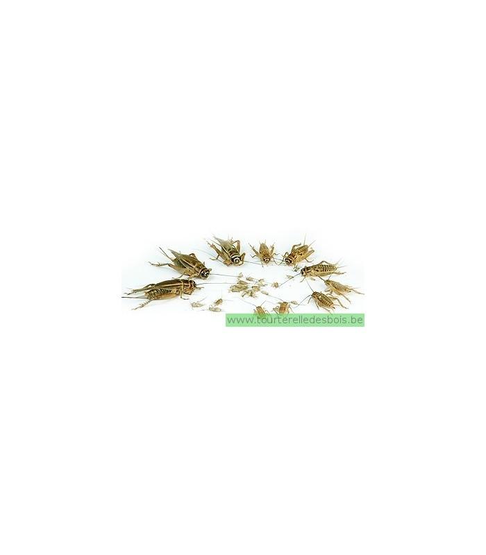 GRILLON DOMESTIQUE - T8 - ADULTE - 45 P