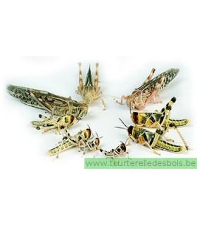 SAUTERELLE TIGRE - T4 - PETITE - 14 P / SCHISTOCERCA GREGARIA