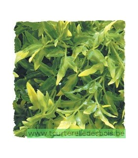 ZM Plante Small Bolivian Croton [BU-15]
