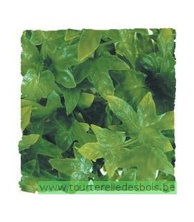ZM Plante Medium Congo Ivy [BU-22]