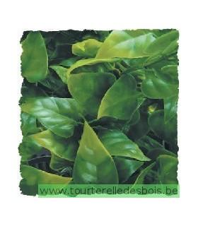 ZM Plante Small Mexican Phyllo [BU-10]
