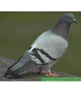 CONGELE - Pigeon (15 par boîte)