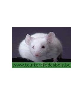 CONGELE - souris 10 - 40 gr. (1 Kg)